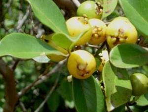 yellow cherry guava
