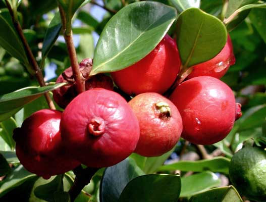 Strawberry Guava and Yellow Cherry Guava - The Fruit Forest